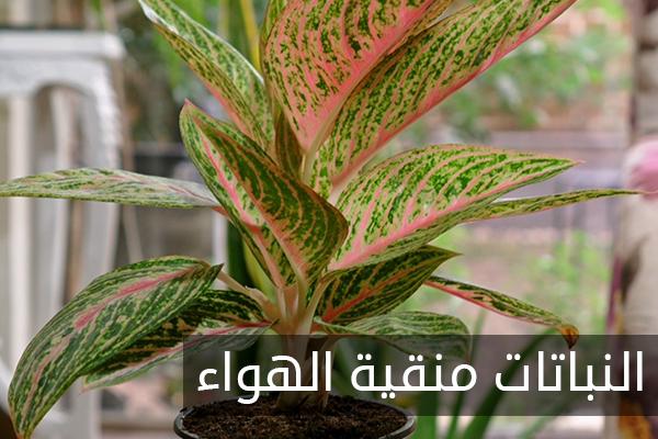 نباتات طبيعية منقية للهواء