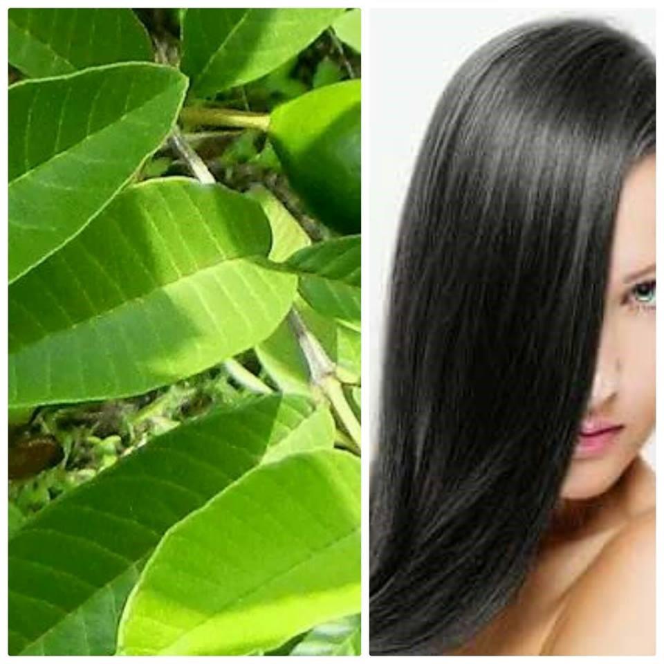 التأثير السحري لأستخدام ورق الجوافة لمنع تساقط الشعر
